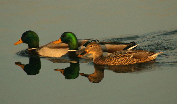 Wildlife of MK: Our Wetland Birds